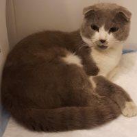 Найден шотландский кот